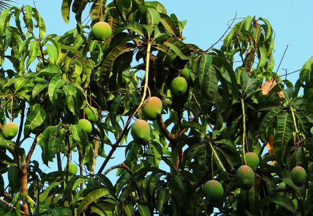 Dojrzewające owoce mango